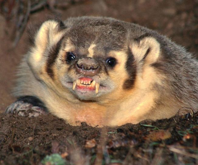 Name:  badger.jpg Views: 86 Size:  50.8 KB