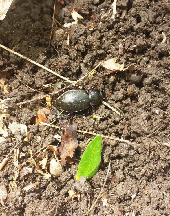 Name:  beetle in the dirt.jpg Views: 196 Size:  149.2 KB
