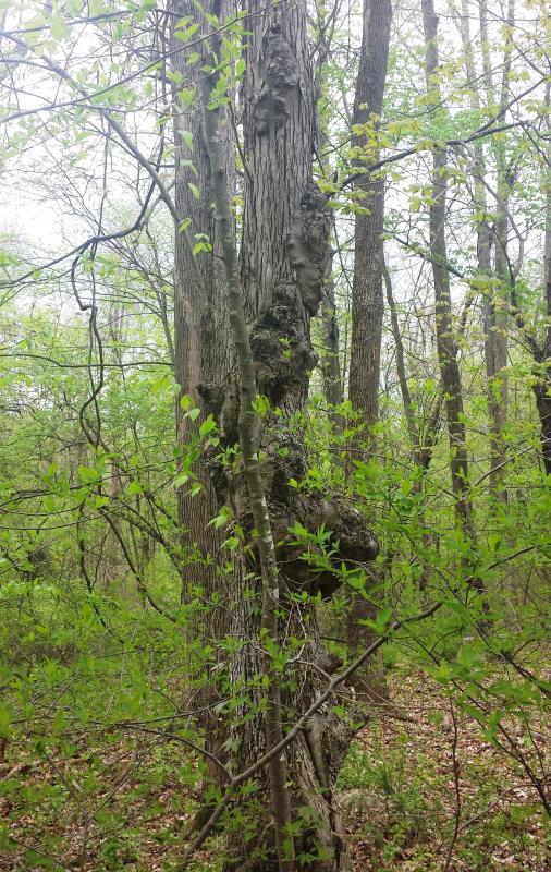 Name:  Deformed tree.jpg Views: 185 Size:  134.5 KB